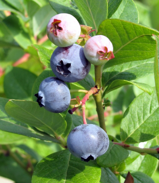 Mexico: blueberries offer alternative to Sinaloa growers